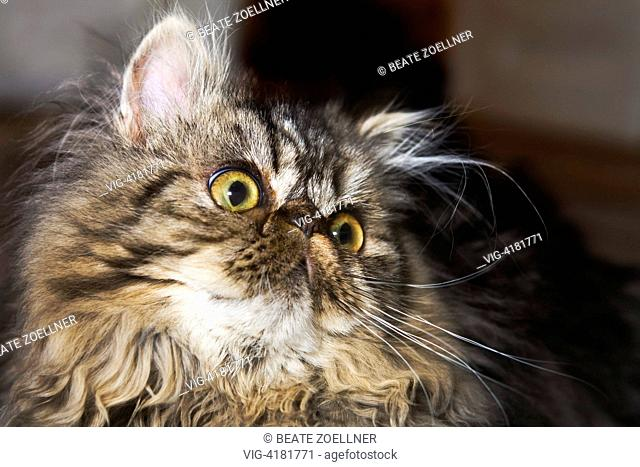 Portrait : Young Persian cat - , , Germany, 16/12/2008