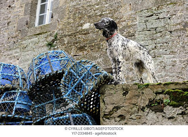 France, Brittany, Finistere, Le Conquet, dog standing next to lobster pots