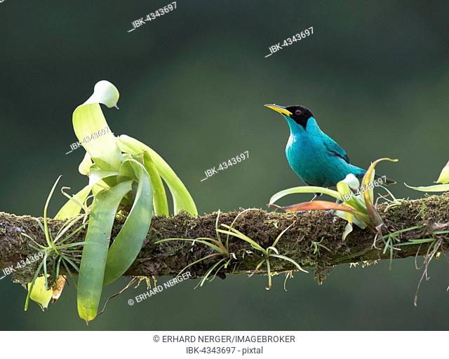 Green Honeycreeper (Chlorophanes spiza) perched on a tree branch, Heredia Province, Costa Rica