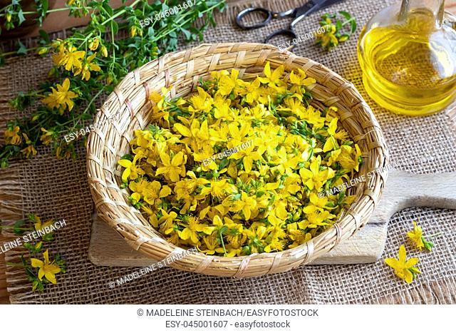 Fresh St. John's wort flowers in a wicker basket