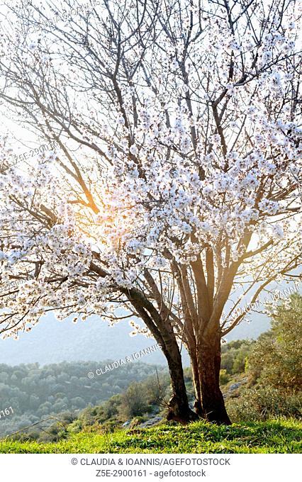 A blossoming almond tree on Pelion Peninsula, Thessaly, Greece