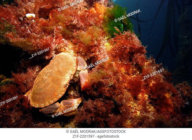 Edible crab in Brittany fresh waters, France. Cancer pagurus