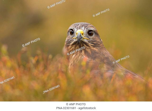 Common Buzzard (Buteo buteo) - Bradgate park, Newtown Linford, Leicestershire, England, Great Britain, Europe