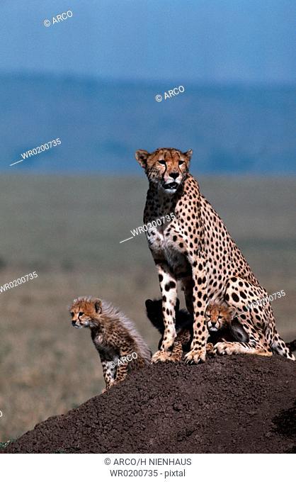 Cheetahs, female, with, cubs, Massai, Mara, Game, Reserve, Kenya, Acinonyx, jubatus