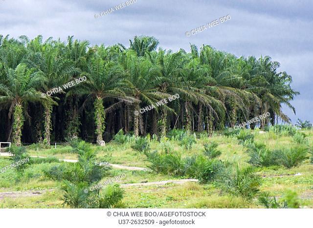 Plantations of oil palms. Biawak, Sematan, Malaysia