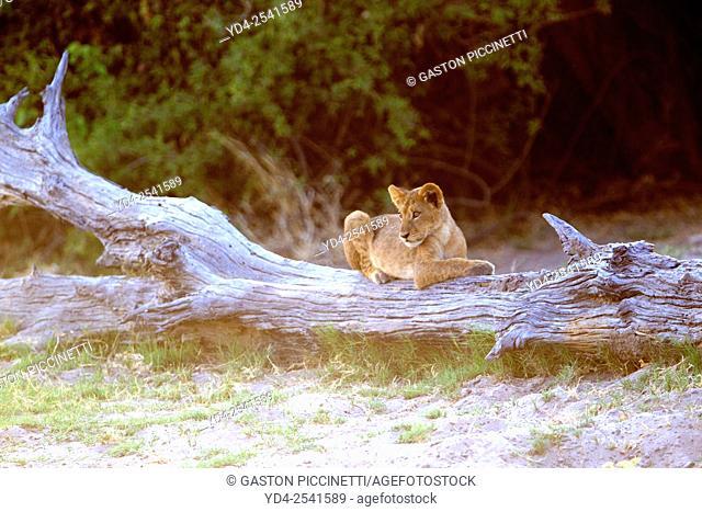 African lions (Panthera leo) - Cub, Chobe National Park, Botswana