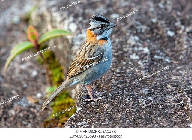 Small bird on plateau of Roraima tepui - Venezuela, South America
