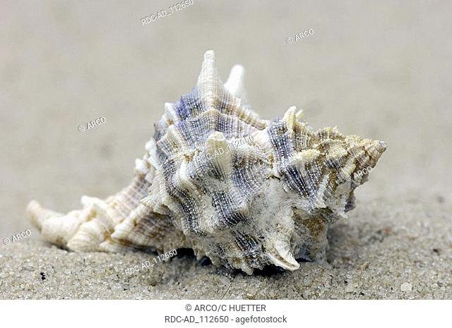 Snail shell of Purple Murex Hexaplex trunculus Murex trunculus Banded Dye-Murex