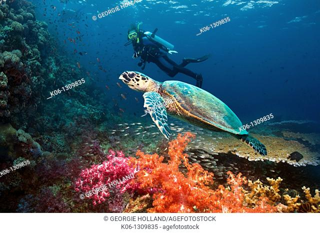 Hawksbill turtle Eretmochelys imbricata swimming over coral reef with diver in background  Indonesia