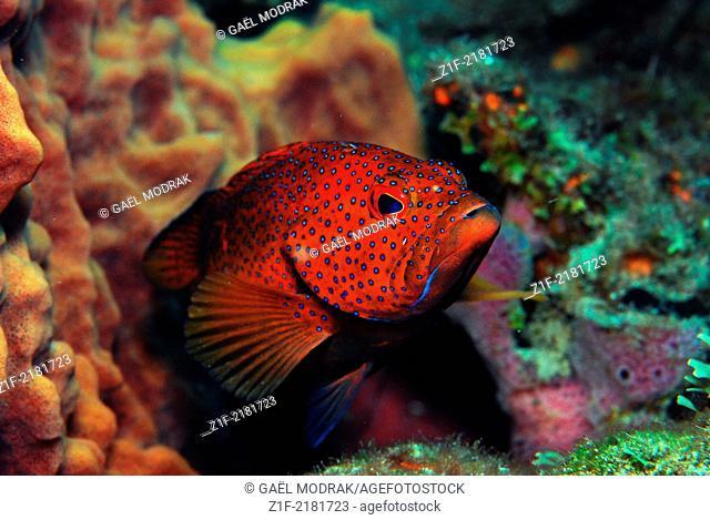 Red coney portrait in Martinique. Cephalopholis fulva