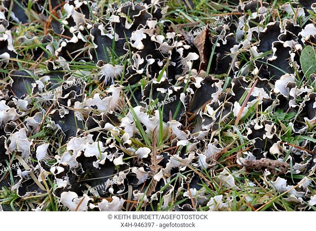 Dog Lichen, Peltigera canina in Winter amongst grasses, Wales