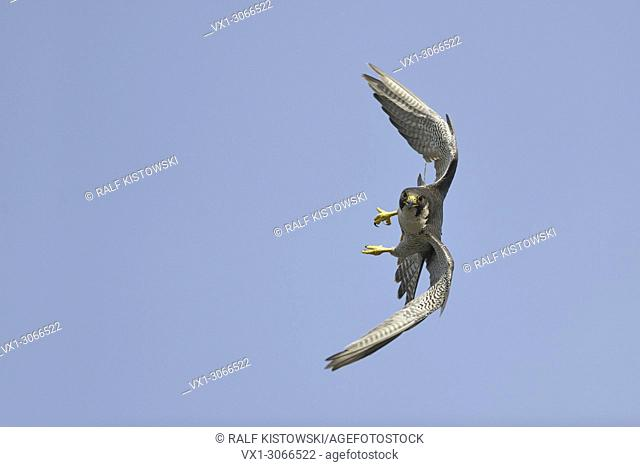 Duck Hawk ( Falco peregrinus ), adult, in fast maneuverable flight, against blue sky, frontal view, eye contact, wildlife, Europe