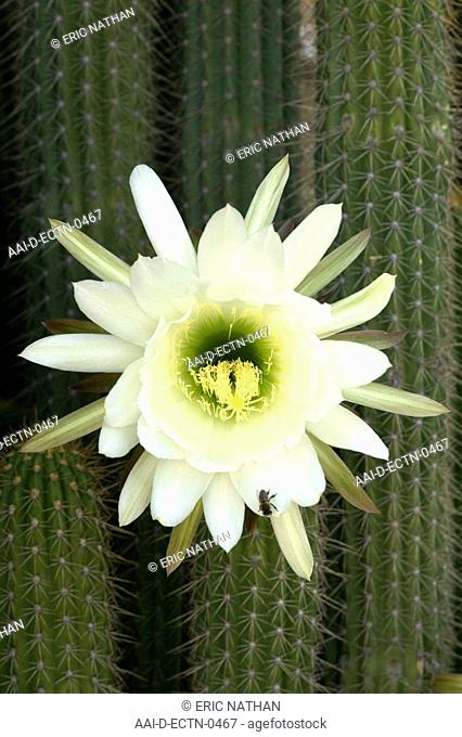 'Queen of the night' Echinopsis spachiana, previously known as Trichocereus Spachianus cactus flower in South Africa's Karoo region