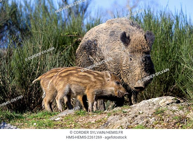 France, Haute Saone, Private park, Wild Boar (Sus scrofa), male with piglets