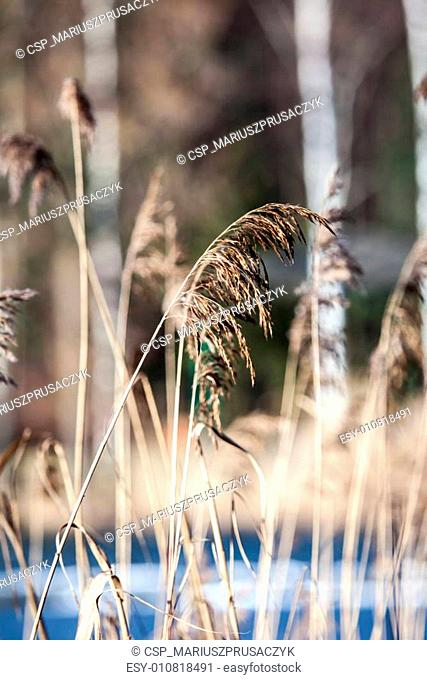Dry grass in winter time, Poland