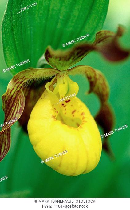 Yellow Lady's Slipper (Cypripedium calceolus). Hinton. West Virginia