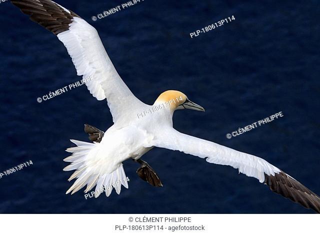Northern gannet (Morus bassanus) in flight soaring over water of the Atlantic Ocean