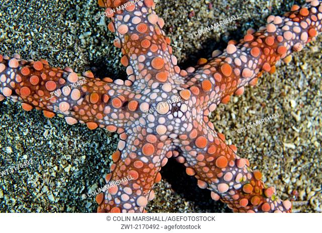 Friant's Sea Star (Nardoa frianti) at Batu Kapal dive site in Lembeh Straits in north Sulawesi in Indonesia