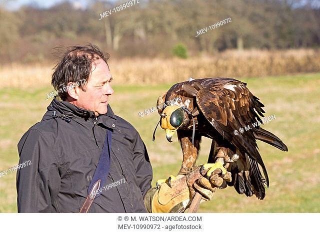 Golden Eagle with falconer Loiret Sologne France