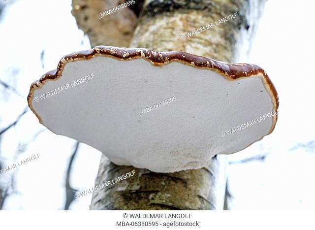 birch bracket, Piptoporus betulinus