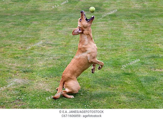 Yellow Labrador chasing ball in garden