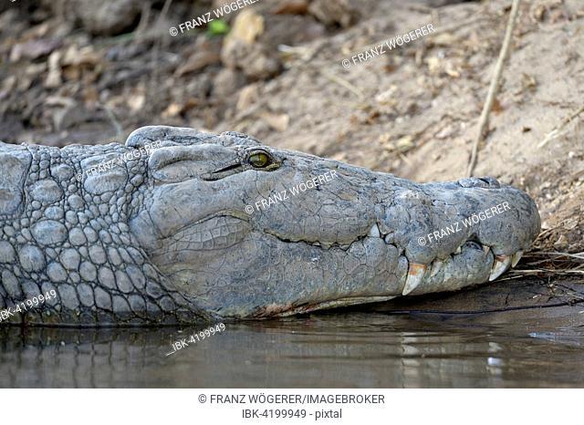 Nile Crocodile (Crocodylus niloticus), lying on the shore, Zambezi River, Lower Zambezi National Park, Zambia