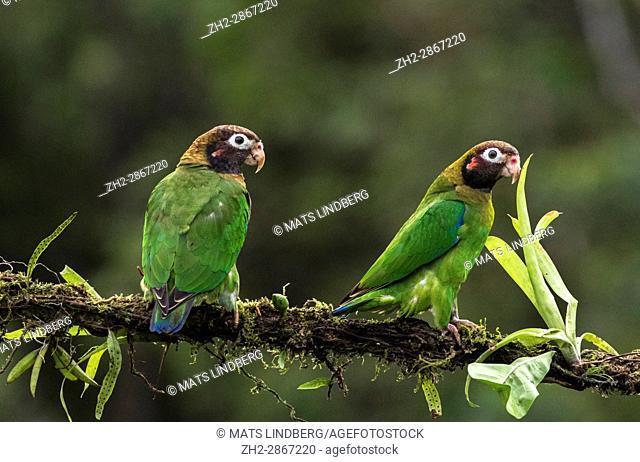 Two Brown-hooded parrot, Pyrilia haematotis, sitting in a tree at Laguna del Lagarto, Boca Tapada, San Carlos, Costa Rica