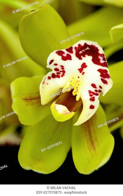 Beautiful orchid - phalaenopsis, orchidea