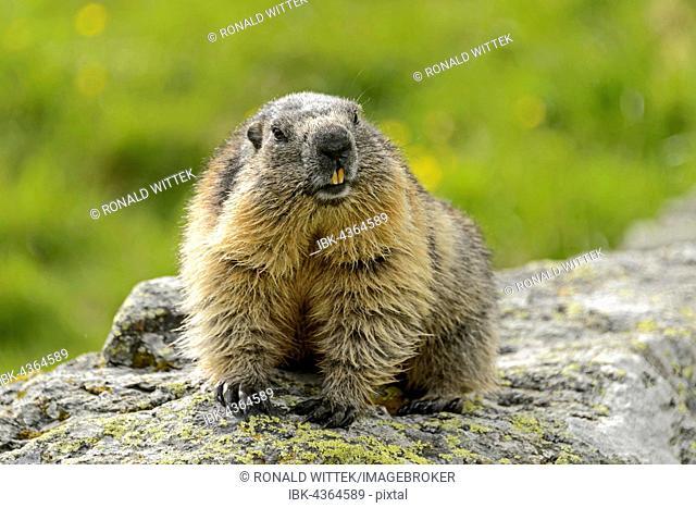 Alpine marmot (Marmota Marmota) on rock, High Tauern National Park, Austria