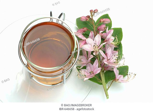 Burning Bush, False Dittany, White Dittany or Gas Plant (Dictamnus albus), herbal tea, medicinal tea