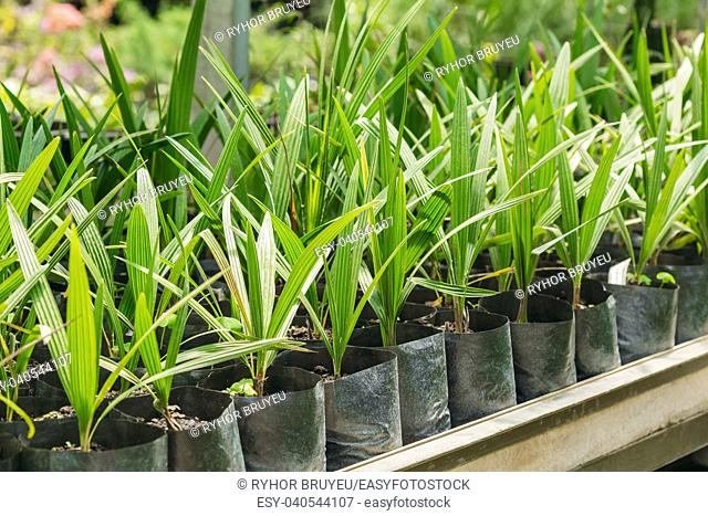 Small Green Sprouts Of Plant Palm Tree With Leaf, Leaves Growing From Soil In Pots In Greenhouse Or Hothouse. Spring, Concept Of New Life