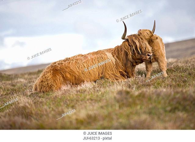 Highland calf nuzzling mother on scottish moor