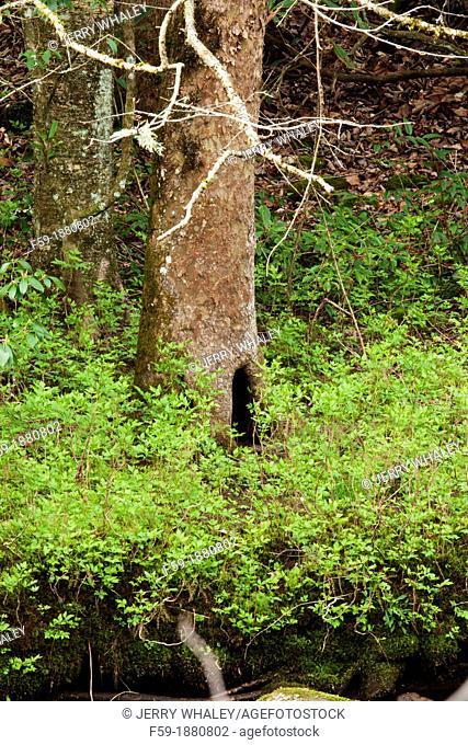 Den Tree, Oconaluftee Area, Great Smoky Mtns National Park, NC