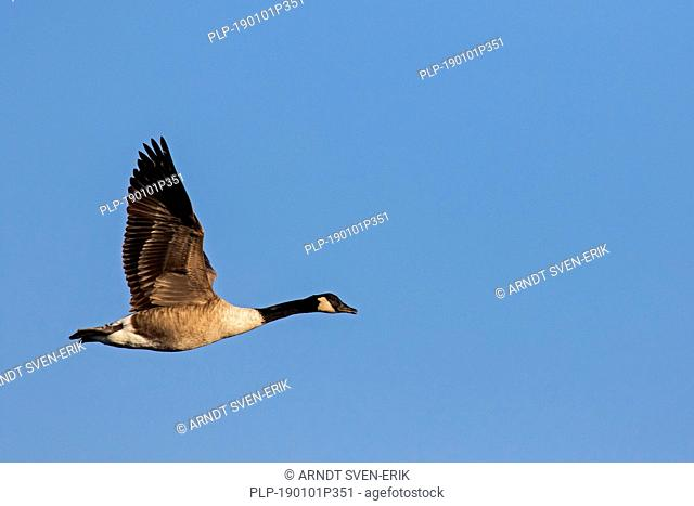 Canada goose (Branta canadensis) in flight against blue sky