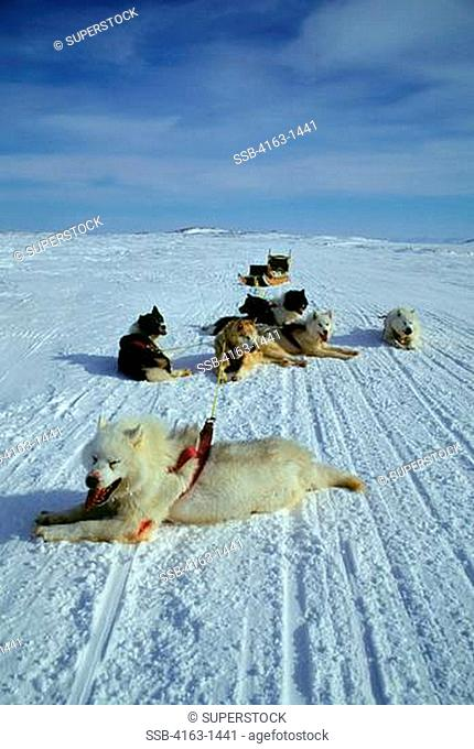 CANADA, NUNAVUT, BAFFIN ISLAND, IQALUIT, DOG TEAM RACES, TEAM AFTER RACE, DOG WOUNDED FROM DOG FIGHT