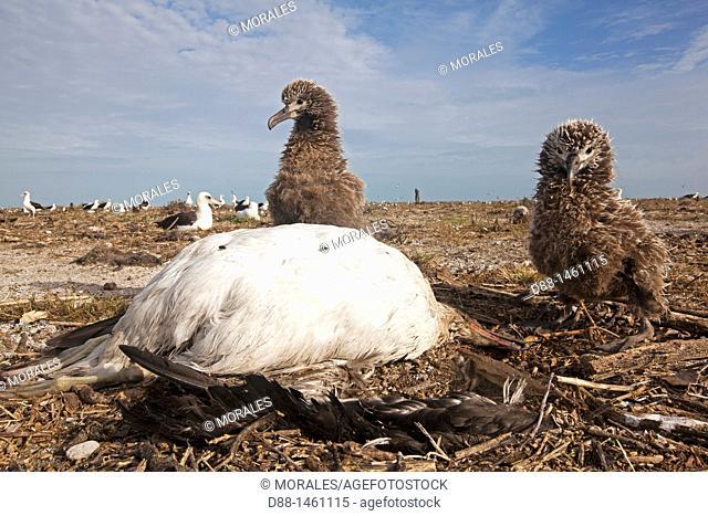 Laysan Albatross (Phoebastria immutabilis), dead one after tsunami (March 11th 2011), Eastern Island, Midway Atoll National Wildlife Refuge, Hawaii, USA