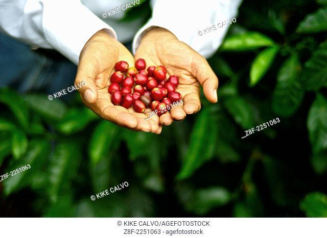 Portrait of Don Francisco Serracin, founder of Don Pachi Estate, holding whole Geisha coffee beans