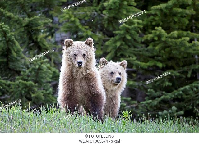 Canada, Alberta, Jasper and Banff National Park, Two young Grizzly bears