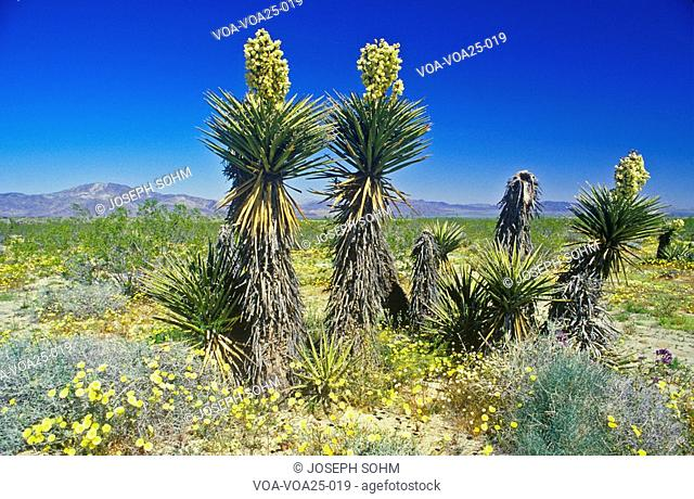Joshua Tree Desert in bloom, Springtime, CA