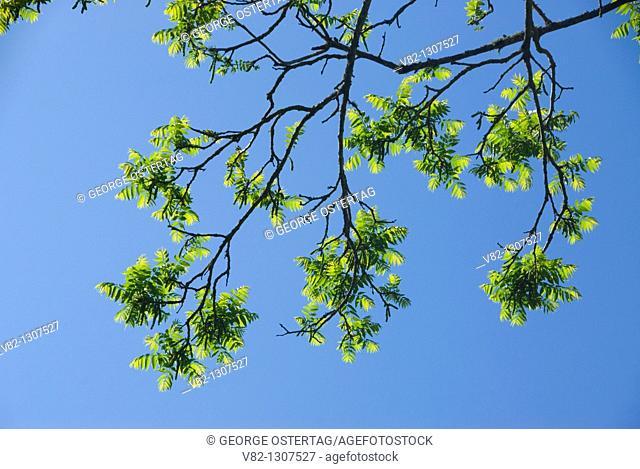 Walnut tree branch, Willamette Mission State Park, Oregon