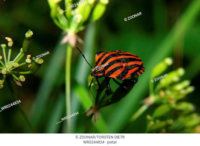 Strip bug