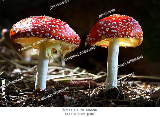 Close-up of toxic mushrooms, Amanita muscaria, dramatically illuminated by sunlight; Grainau, Bavaria, Germany