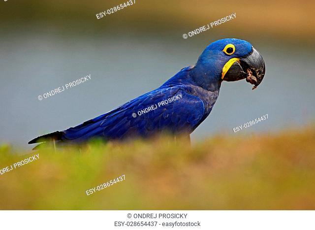 Portrait of big blue parrot Hyacinth Macaw, Anodorhynchus hyacinthinus