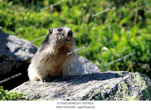 1, Alp, Alps, groundhog, Alpine fauna, Alpine groundhog, Alpine, animal world, alpine Marmot, mountain, mountains, fauna, cliff, rock, Marmota, Marmota marmota