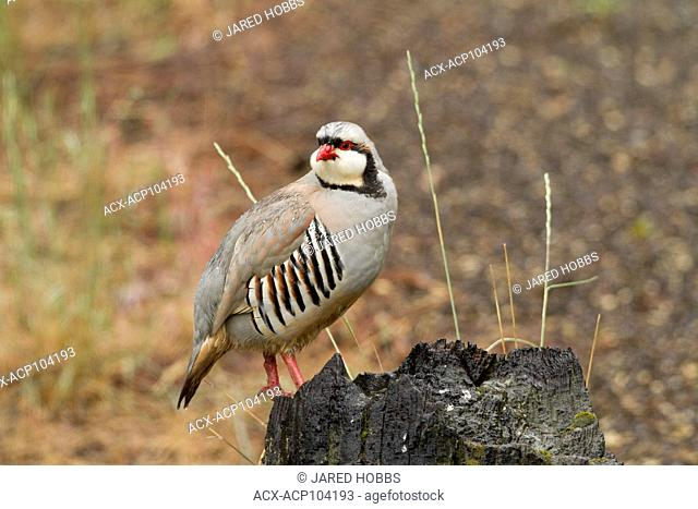 Chukar Partridge, Alectoris chukar, Fraser and Thompson River Canyon, British Columbia, Canada
