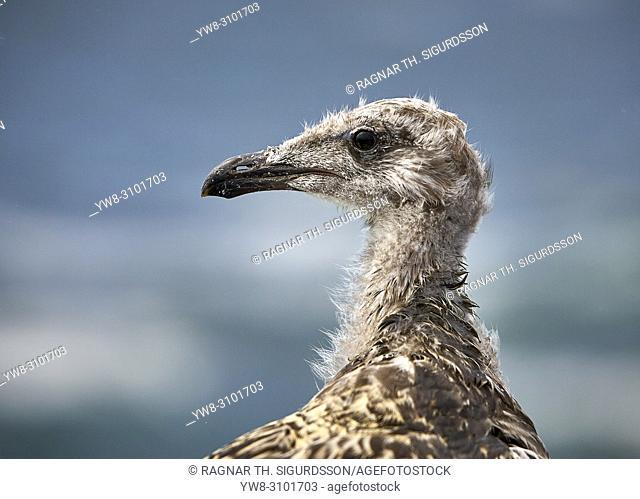 Black-headed Gull, Westman Islands, Iceland