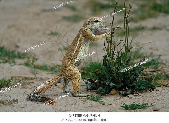 South African Ground Squirrel or Cape Ground Squirrel (Xenus Inauris) in Etosha National Park,Namibia, Africa