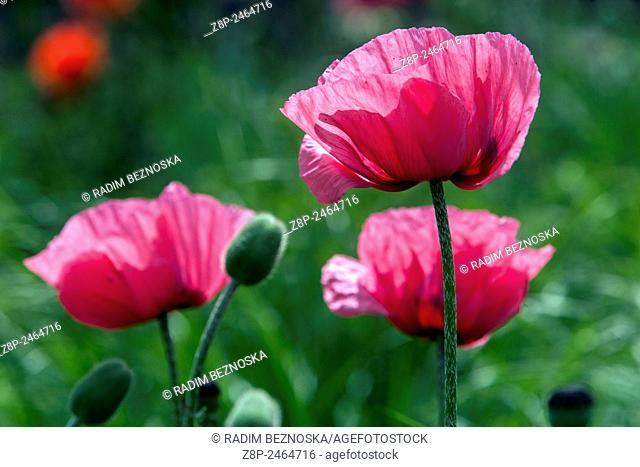 Oriental Poppy (Papaver orientale), flowers