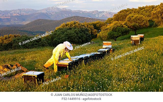 Beekeeping or apiculture, Garciaz, Las Villuercas, Caceres, Extremadura, Spain, Europe
