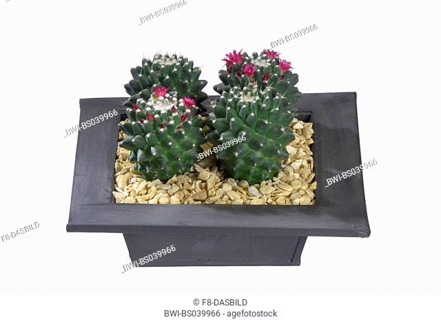 Mexican Pincushion (Mammillaria magnimamma), potted plants